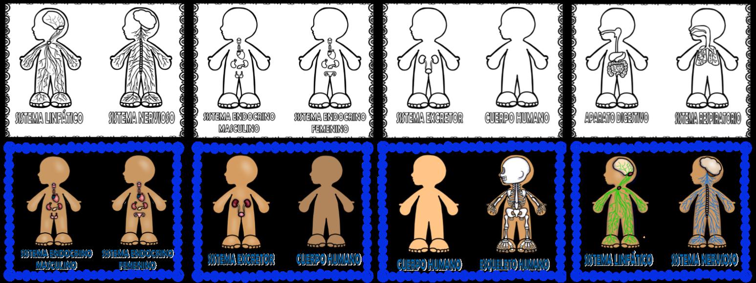Fantásticos Diseños De Los Sistemas Y Aparatos Del Cuerpo
